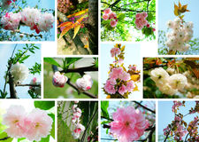 Collage de los flores de cereza foto de archivo libre de regalías