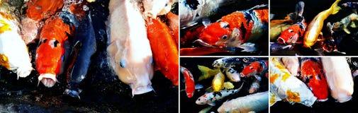 Collage de los pescados de Koi Fotografía de archivo libre de regalías
