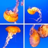 Collage de méduses Photo stock