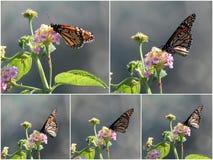 Collage de mariposas en Lantana Imagen de archivo