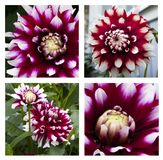 Collage de plan rapproché de belle fleur pourpre et blanche de dahlia dans le jardin photos stock