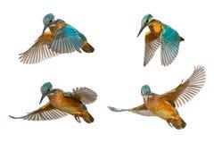 Collage de quatre atthis communs d'Alcedo de martin-pêcheur en vol d'isolement sur un fond blanc image libre de droits