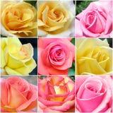 Collage de rosas de las fotos Foto de archivo
