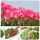 Collage de tulipanes florecientes en diversos colores Fotos de archivo libres de regalías