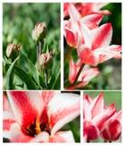 Collage de tulipe Image libre de droits
