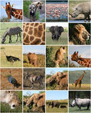 Collage degli animali selvatici Fotografia Stock