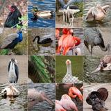 Collage degli uccelli Fotografia Stock Libera da Diritti