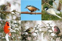 Collage degli uccelli di inverno. Fotografie Stock