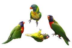 Collage degli uccelli di Lorikeet Immagini Stock