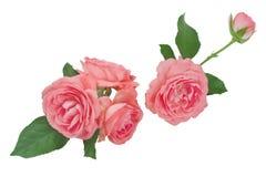 Collage dei capolini della rosa di rosa isolati su fondo bianco Fotografia Stock Libera da Diritti