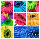 Collage dei fiori della margherita del gerbera Immagine Stock Libera da Diritti