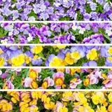 Collage dei fiori di viole del pensiero. Immagini Stock