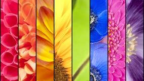 Collage dei fiori nei colori dell'arcobaleno Fotografie Stock Libere da Diritti