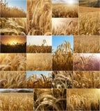Collage dei giacimenti di grano Fotografia Stock