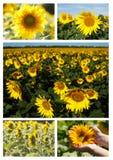 Collage dei girasoli Fotografia Stock
