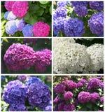 Collage dei hortensias di fioritura Fotografia Stock