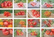Collage dei pomodori crescenti Fotografia Stock