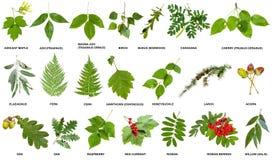 Collage dei ramoscelli freschi con le foglie degli alberi Fotografia Stock Libera da Diritti
