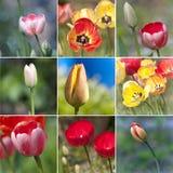 Collage dei tulipani Fotografia Stock
