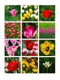 Collage dei tulipani Fotografia Stock Libera da Diritti