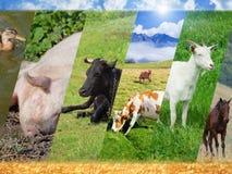 Collage del bestiame Fotografia Stock Libera da Diritti