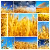 Collage del campo de trigo foto de archivo libre de regalías