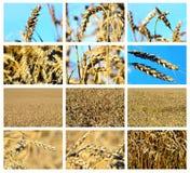 Collage del campo de trigo Imágenes de archivo libres de regalías