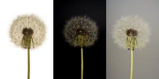 Collage del dente di leone bianco su tre ambiti di provenienza differenti Fotografia Stock