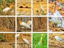 Collage del Egret Fotografie Stock Libere da Diritti