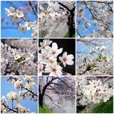 Collage del fiore di ciliegia Fotografia Stock Libera da Diritti