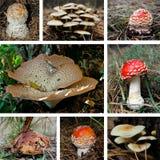 Collage del fungo Immagine Stock