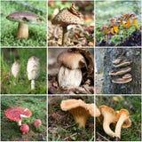 Collage del fungo Fotografia Stock Libera da Diritti