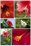 Collage del hisbiscus rosa-sinensis Immagine Stock