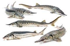 Collage del pesce dello storione Fotografia Stock