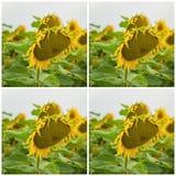 Collage del primo piano organico dei girasoli Bello fondo del quadrato di estate sugli argomenti differenti Immagini Stock Libere da Diritti