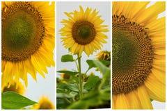 Collage del primo piano organico dei girasoli Bello fondo di estate sugli argomenti differenti Fotografia Stock Libera da Diritti