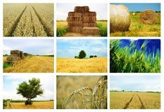 Collage del trigo Imágenes de archivo libres de regalías