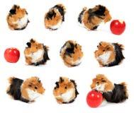 Collage dell'animale domestico della cavia con la mela su bianco Immagine Stock