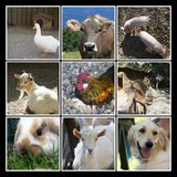 Collage dell'azienda agricola di animali Fotografie Stock