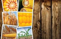 Collage della foto del mais del cereale nell'agricoltura Immagine Stock