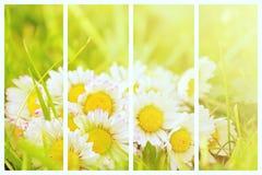 Collage della pianta della margherita Fotografia Stock Libera da Diritti