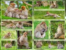 Collage della scimmia di macaco Fotografie Stock Libere da Diritti
