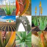 Collage della vera dell'aloe Fotografie Stock Libere da Diritti