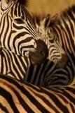 Collage della zebra Immagini Stock Libere da Diritti
