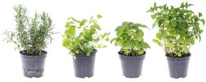 Collage delle erbe differenti (pianta piena) Fotografie Stock