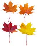 Collage delle foglie di acero Fotografia Stock