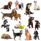 Collage delle foto degli animali domestici Fotografia Stock Libera da Diritti