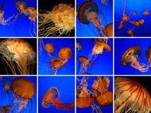 Collage delle meduse Fotografia Stock Libera da Diritti