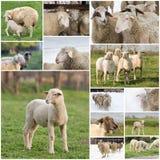 Collage delle pecore Fotografia Stock Libera da Diritti