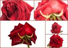 Collage delle rose Immagine Stock
